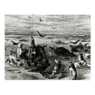 Gemetzel der Büffel auf den Ebenen Postkarte