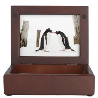 Gentoo Penguins, die Geschenkboxen küssen Erinnerungsdose