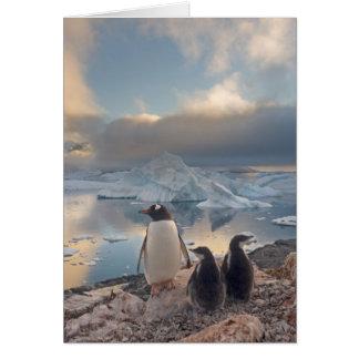 gentoo Pinguin, Pygoscelis Papua, Elternteil mit 2 Karte
