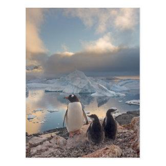 gentoo Pinguin, Pygoscelis Papua, Elternteil mit 2 Postkarte