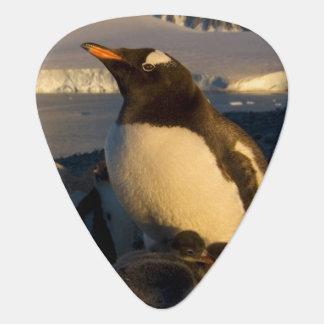 gentoo Pinguin, Pygoscelis Papua, Elternteil mit Plektron