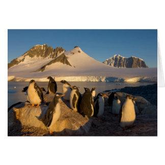 gentoo Pinguin, Pygoscelis Papua, Kolonie entlang Karte