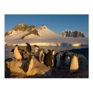 gentoo Pinguin, Pygoscelis Papua, Kolonie entlang Postkarte