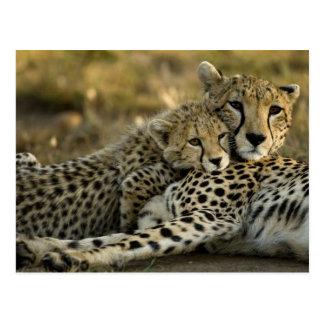 Gepard, Acinonyx jubatus, mit Jungem auf das Masai Postkarte