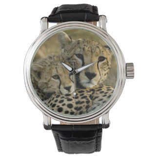Gepard, Acinonyx jubatus, mit Jungem auf das Masai Uhr