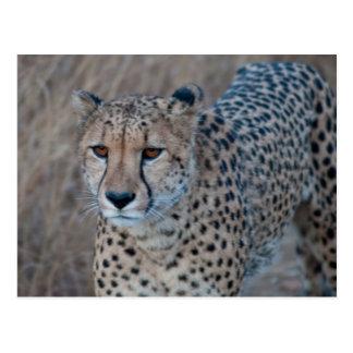 Gepard, der für eine Stroll-Postkarte geht Postkarte