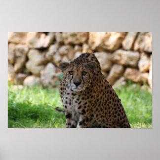 Gepard, der sein Opfer betrachtet Poster
