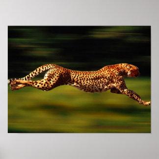 Gepard, der sein Opfer jagt Poster