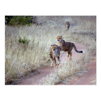 Geparde in Namibia Postkarte