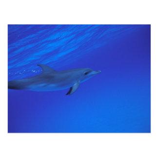 Gepunkteter Delphin Karibischer Meere, Bahamas Postkarte