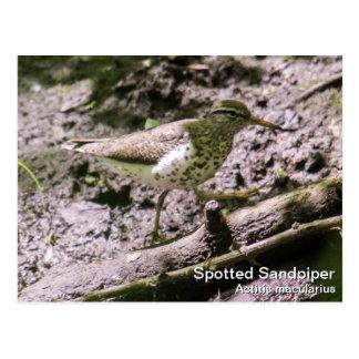 Gepunkteter Flussuferläufer Postkarte