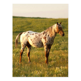 Gepunkteter PferdeStallion Postkarte