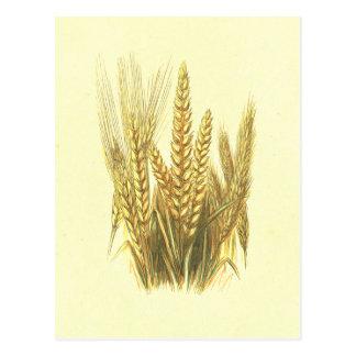 Gerste, Weizen u. Vintage Lithographie Ryes Postkarte