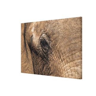Gesicht eines Elefanten Leinwanddruck