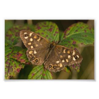 Gesprenkelter hölzerner Schmetterling Fotodruck