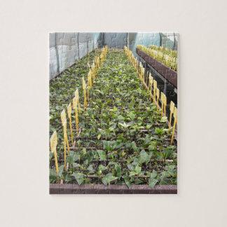 Gewächshausbearbeitung von Kamelie japonica Blume Puzzle