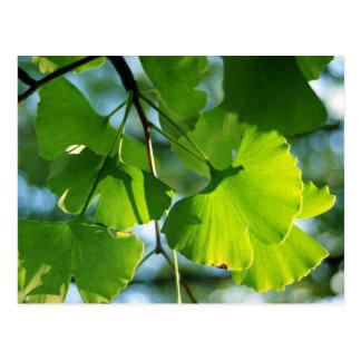 Ginkgo-Blätter im Sommer Postkarte