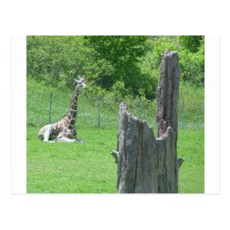 Giraffe hinter einem defekten Baum-Stumpf während Postkarte