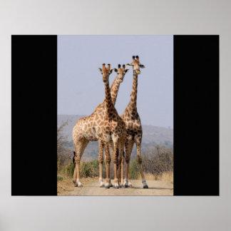 Giraffen-Afrika-Safari-Tier personifizieren Poster