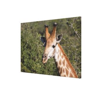 Giraffen-Hauptdetail Leinwanddruck