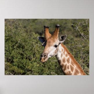 Giraffen-Hauptdetail Poster