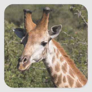 Giraffen-Hauptdetail Quadratischer Aufkleber