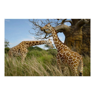 Giraffen heraus auf dem Gebiet durch einige Bäume Poster