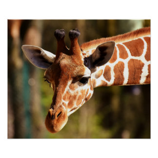 Giraffen-Plakat - Safari-Tier-Zoo-Tiere Poster