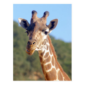 Giraffen-Postkarte Postkarte