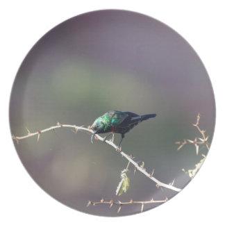 Glänzendes Sunbird (Cinnyris habessinicus) Melaminteller