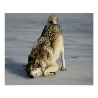 Glücklicher Wolf auf gefrorenem Teich Plakat