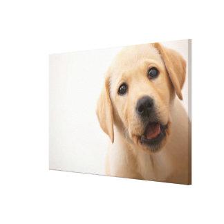 Goldener Labrador-Welpe Leinwanddruck