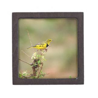 """Goldener Pipit, Kenia, Foto 2"""" x 2"""" Schachtel"""