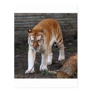Goldener Tabby-Tiger 1 Postkarte