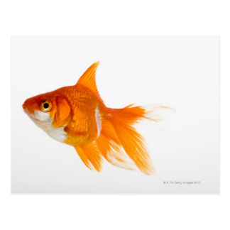Goldfisch, Seitenansicht Postkarte