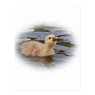 Gosling Postkarte