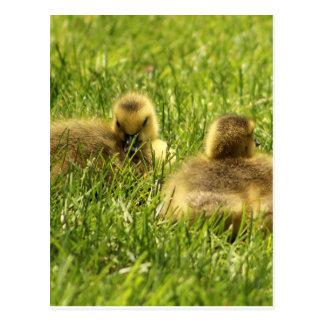 Goslings-Nickerchen-Zeit Postkarte