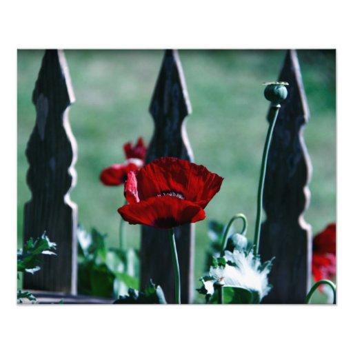 gotische Mohnblume Kunst Fotos
