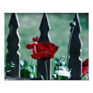 gotische Mohnblume Photo Druck