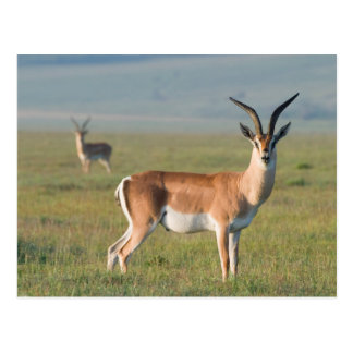 Grants Gazelle, Ngorongoro Krater, Ngorongoro Postkarte