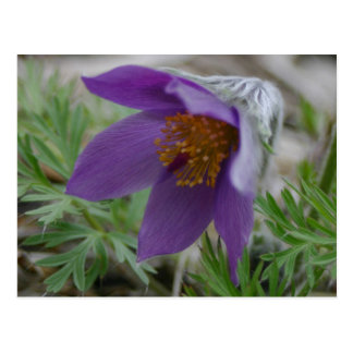 Grasland Pasque Nord-Süddakota Staats-Blume Postkarte