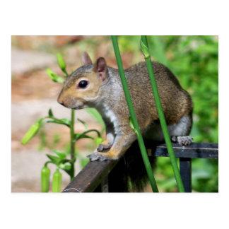Graue Eichhörnchen-Fotografie-Postkarte Postkarte
