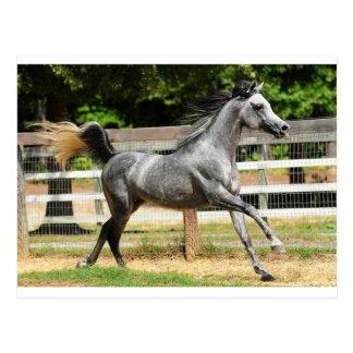 Grauer arabischer Stallion Postkarte
