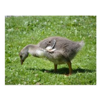 Grauer Gosling Postkarte