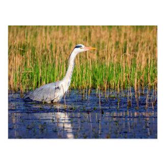 Grauer Reiher, Ardea cinerea, in einem Teich Postkarte