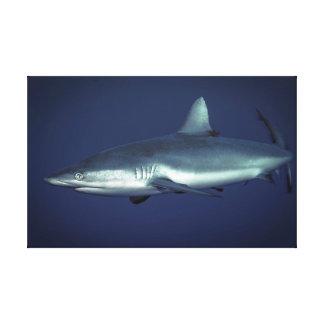 Grauer Riff-Haifisch im Yap Mikronesien Leinwanddruck