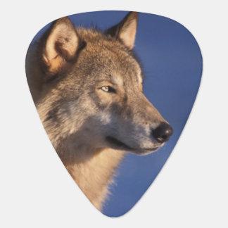 grauer Wolf, Canis Lupus, in den Vorbergen von 2 Plektron