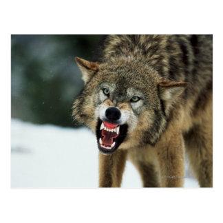Grauer Wolf der Verwirrung Postkarte