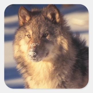 Grauer Wolf im Schnee Quadratischer Aufkleber