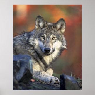 Grauer Wolf Plakat